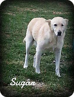 Shepherd (Unknown Type)/Collie Mix Dog for adoption in Greenville, Kentucky - SUGAR