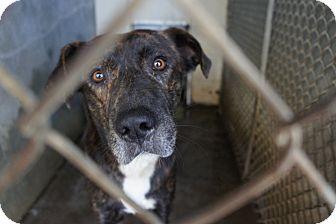 Labrador Retriever Mix Dog for adoption in Henderson, North Carolina - Nick*