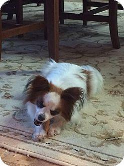 Papillon Mix Dog for adoption in Hagerstown, Maryland - PNut (ETAA)
