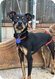 Miniature Pinscher Mix Dog for adoption in Santa Ana, California - Jagger