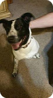 Border Collie/Labrador Retriever Mix Dog for adoption in Antioch, Illinois - Ruby