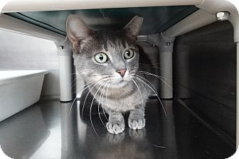 Domestic Shorthair Cat for adoption in Elyria, Ohio - Pebbles