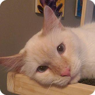 Siamese Cat for adoption in THORNHILL, Ontario - Seafoam