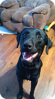 Labrador Retriever Mix Dog for adoption in Huntsville, Alabama - Smokey