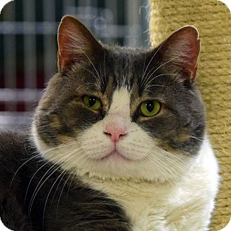 Domestic Shorthair Cat for adoption in Norwalk, Connecticut - Gabe