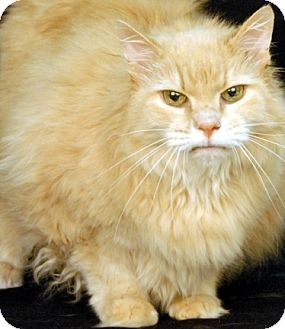 Domestic Longhair Cat for adoption in Newland, North Carolina - Pooky