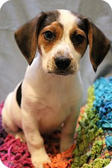 Beagle/English Pointer Mix Puppy for adoption in Southington, Connecticut - Lancelot