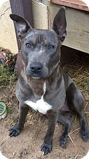 Weimaraner/American Staffordshire Terrier Mix Dog for adoption in Sturbridge, Massachusetts - Hobbs