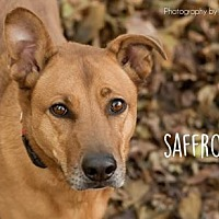 Shepherd (Unknown Type)/Labrador Retriever Mix Dog for adoption in Kansas City, Missouri - Saffron