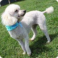 Adopt A Pet :: Stormy - Salem, NH