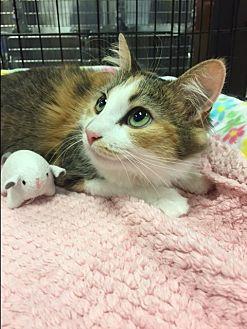 Calico Cat for adoption in Simpsonville, South Carolina - Katie