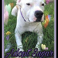 American Pit Bull Terrier/American Bulldog Mix Dog for adoption in Blaine, Minnesota - Sugar