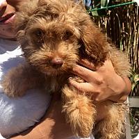 Adopt A Pet :: Shane - Santa Ana, CA