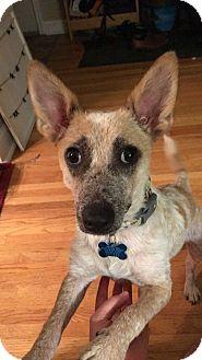 Cattle Dog/Corgi Mix Dog for adoption in Minneapolis, Minnesota - Quinn