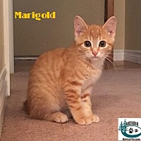 Adopt A Pet :: Marigold - Beautiful Girl! - Huntsville, ON