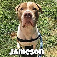 Adopt A Pet :: Jameson - Jackson, NJ