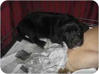 Labrador Retriever Mix Puppy for adoption in Upper Marlboro, Maryland - ARROW