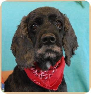 Cocker Spaniel Dog for adoption in Las Vegas, Nevada - Shaggy