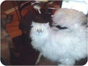Persian Cat for adoption in Chicago, Illinois - Fifi