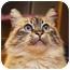 Photo 2 - Himalayan Cat for adoption in Encinitas, California - Crystal