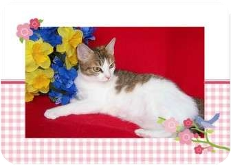 Calico Cat for adoption in Taylor Mill, Kentucky - Taylor - DECLAWED
