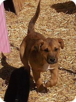 Golden Retriever/Shepherd (Unknown Type) Mix Puppy for adoption in Pie Town, New Mexico - MANDEE