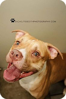 American Staffordshire Terrier Mix Dog for adoption in HARRISONVILLE, Missouri - Rocky