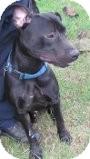Labrador Retriever/Pit Bull Terrier Mix Dog for adoption in Staunton, Virginia - Nemo