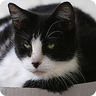 Domestic Shorthair Cat for adoption in North Fort Myers, Florida - Fernando