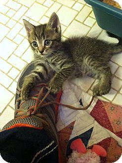 Domestic Shorthair Kitten for adoption in Fredericksburg, Virginia - Teddy