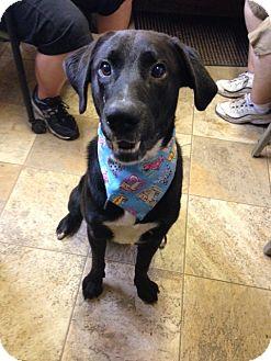 Labrador Retriever Mix Dog for adoption in Easton, Illinois - Ajax