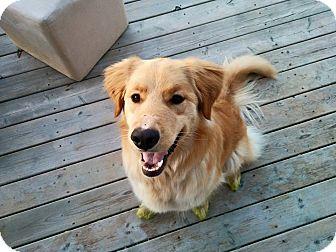 Golden Retriever Dog for adoption in Pierrefonds, Quebec - Stella
