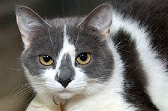 Domestic Shorthair Cat for adoption in Mountain Home, Arkansas - Pearl Grey