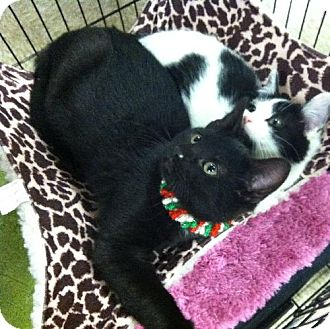 Domestic Shorthair Kitten for adoption in Wilmore, Kentucky - Cole