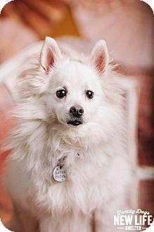 American Eskimo Dog Dog for adoption in Portland, Oregon - Sebastian
