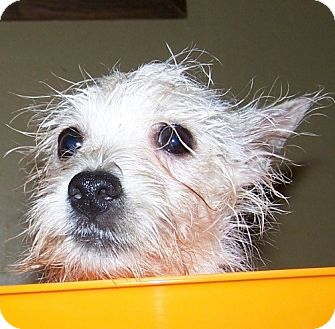 Westie, West Highland White Terrier Mix Puppy for adoption in Hastings, Minnesota - Mabelle