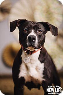 Pit Bull Terrier Dog for adoption in Portland, Oregon - Sally