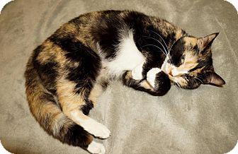 Domestic Shorthair Cat for adoption in Lexington, North Carolina - Cali