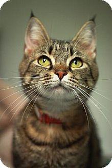 Domestic Shorthair Cat for adoption in Parma, Ohio - Mimi