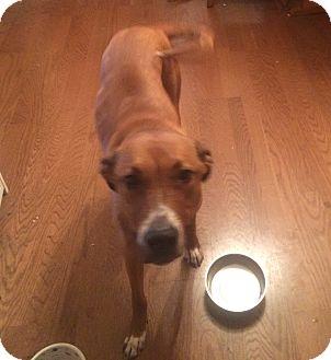 Labrador Retriever/Greyhound Mix Dog for adoption in Nuevo, California - Winston