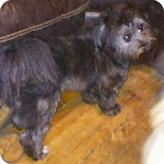Lhasa Apso/Shih Tzu Mix Puppy for adoption in Union Grove, Wisconsin - Boogie Bear