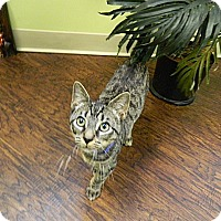 Domestic Shorthair Kitten for adoption in The Colony, Texas - Marvel