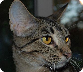 Bengal Cat for adoption in Fenton, Missouri - Tamara