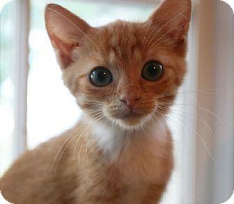 Domestic Shorthair Kitten for adoption in Buford, Georgia - Little Ginger