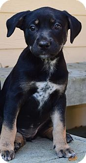 Black Mouth Cur/Black and Tan Coonhound Mix Puppy for adoption in Friendswood, Texas - Siggy