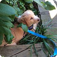 Adopt A Pet :: Cheerios - Hohenwald, TN