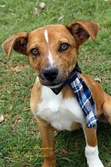 Hound (Unknown Type) Mix Puppy for adoption in Norman, Oklahoma - Drumstick