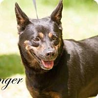 Adopt A Pet :: Ginger - Middleburg, FL