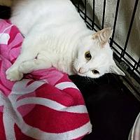 Adopt A Pet :: Snow Girl - Honolulu, HI