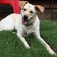Adopt A Pet :: Bella Wonderful Family Doggie. Perfect 38 pounds - Rowayton, CT